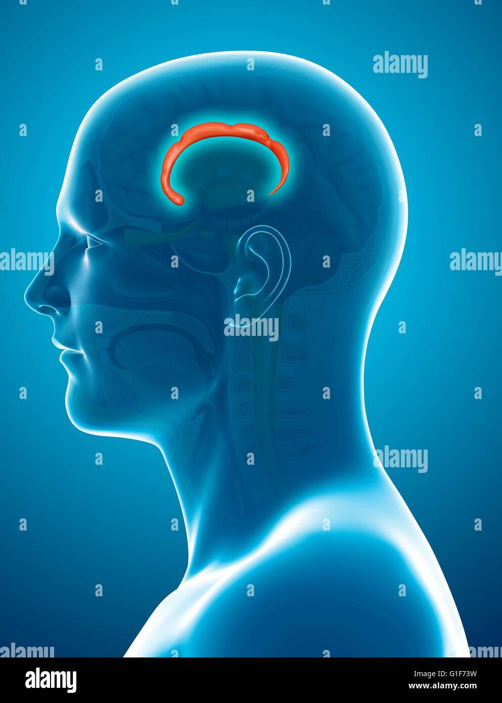 Cerebro Humano (corteza cingulada girus (flecha)), ilustración. Imagen De Stock