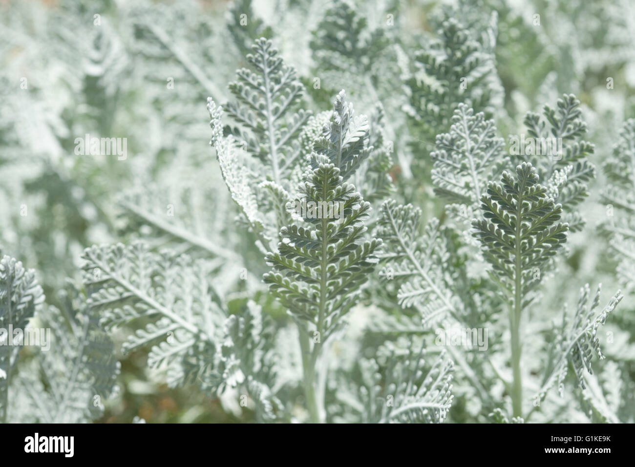 La flora de Gran Canaria, hojas de Tanacetum ptarmiciflorum fondo natural, planta en peligro de extinción. Imagen De Stock