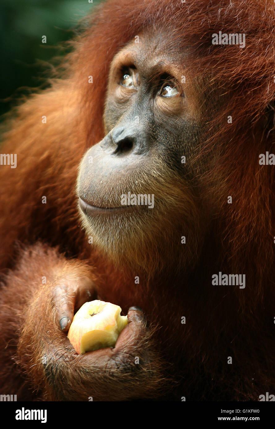 Orangután mono Imagen De Stock