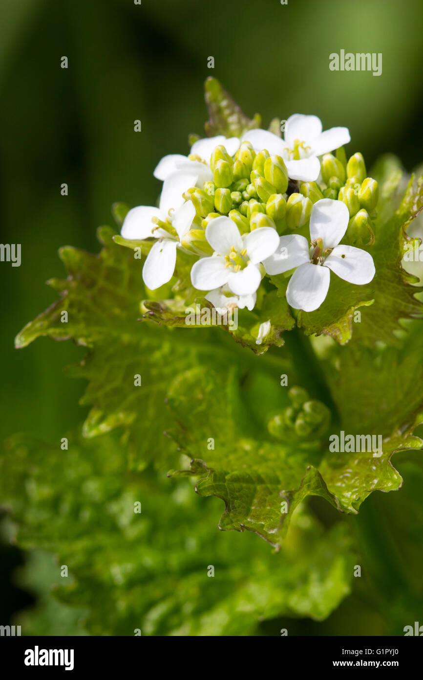 Jack por la cobertura o de ajo, mostaza, Alliaria petiolata, UK wildflower y foodplant para punta anaranjada mariposas Foto de stock