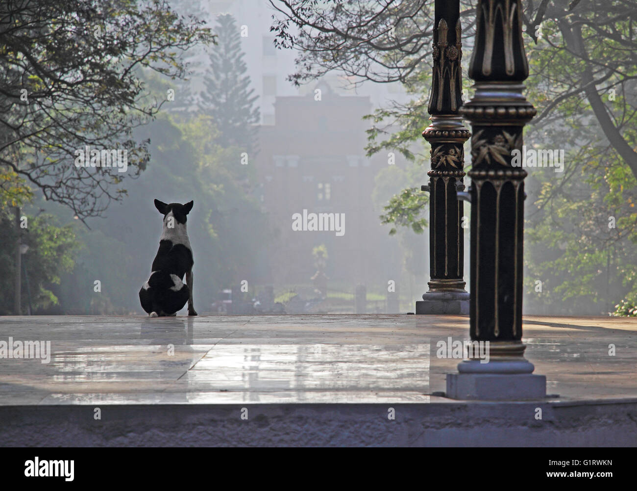 Alerta y vigilante perro blanco y negro sobre ver lugares en una mañana brumosa. Imagen De Stock