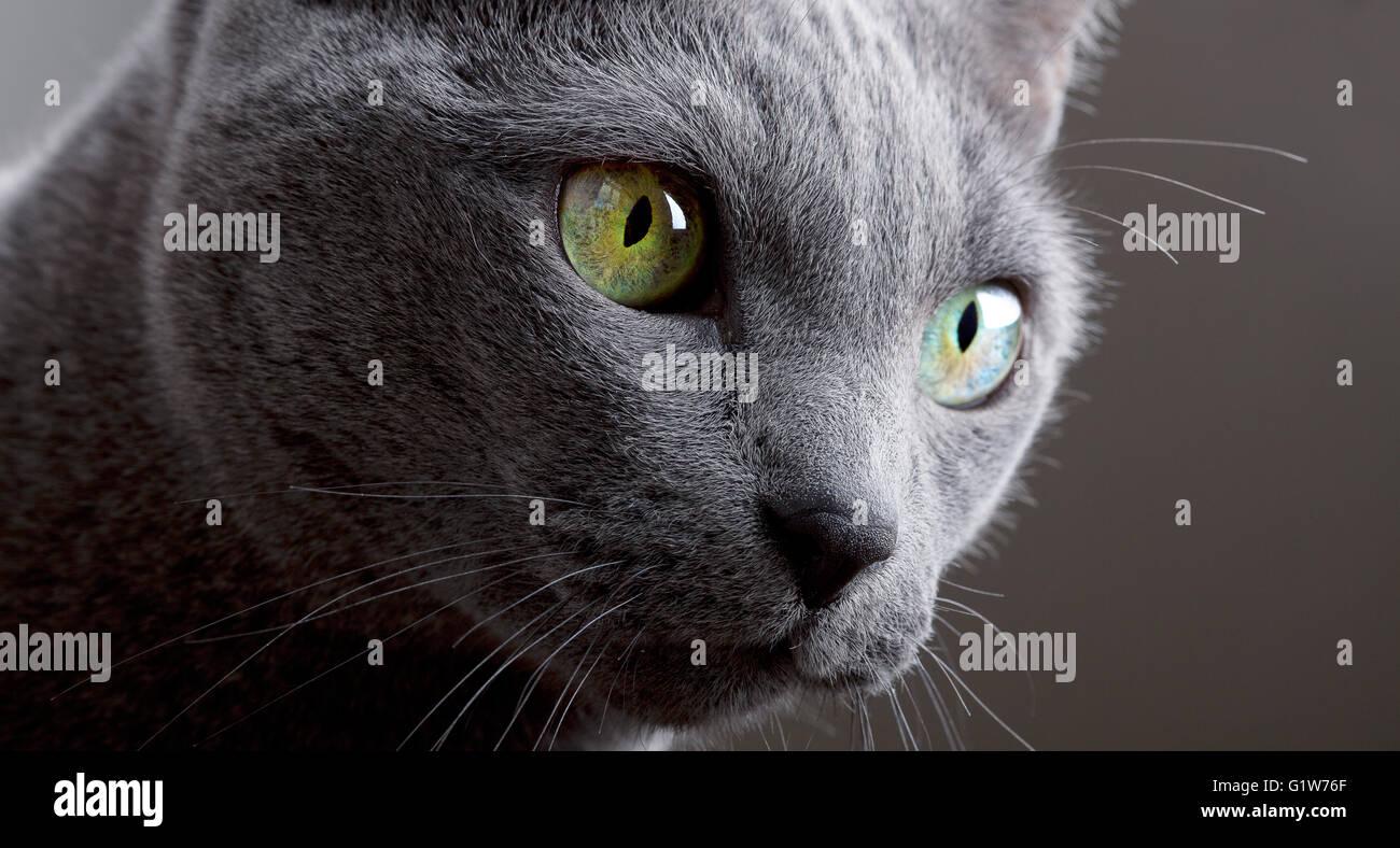 Gato azul ruso retrato Imagen De Stock
