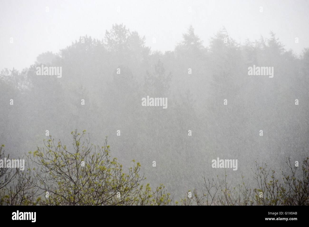 Lluvias torrenciales en un bosque mixto en primavera, Wales, REINO UNIDO Imagen De Stock