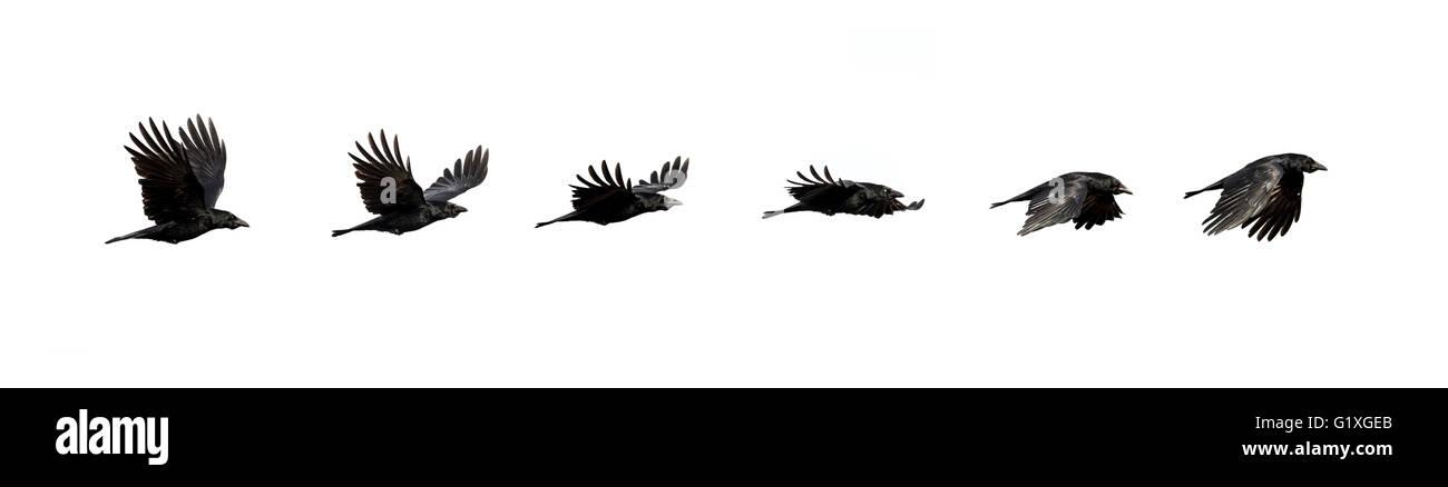 Secuencia de vuelo de un cuervo Foto de stock