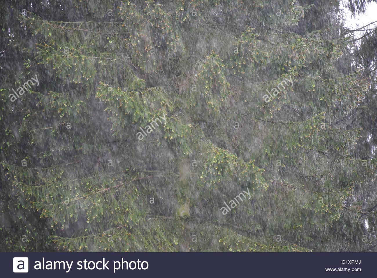 Las lluvias torrenciales caídas en bosques siempreverdes en el sur de Shropshire Imagen De Stock