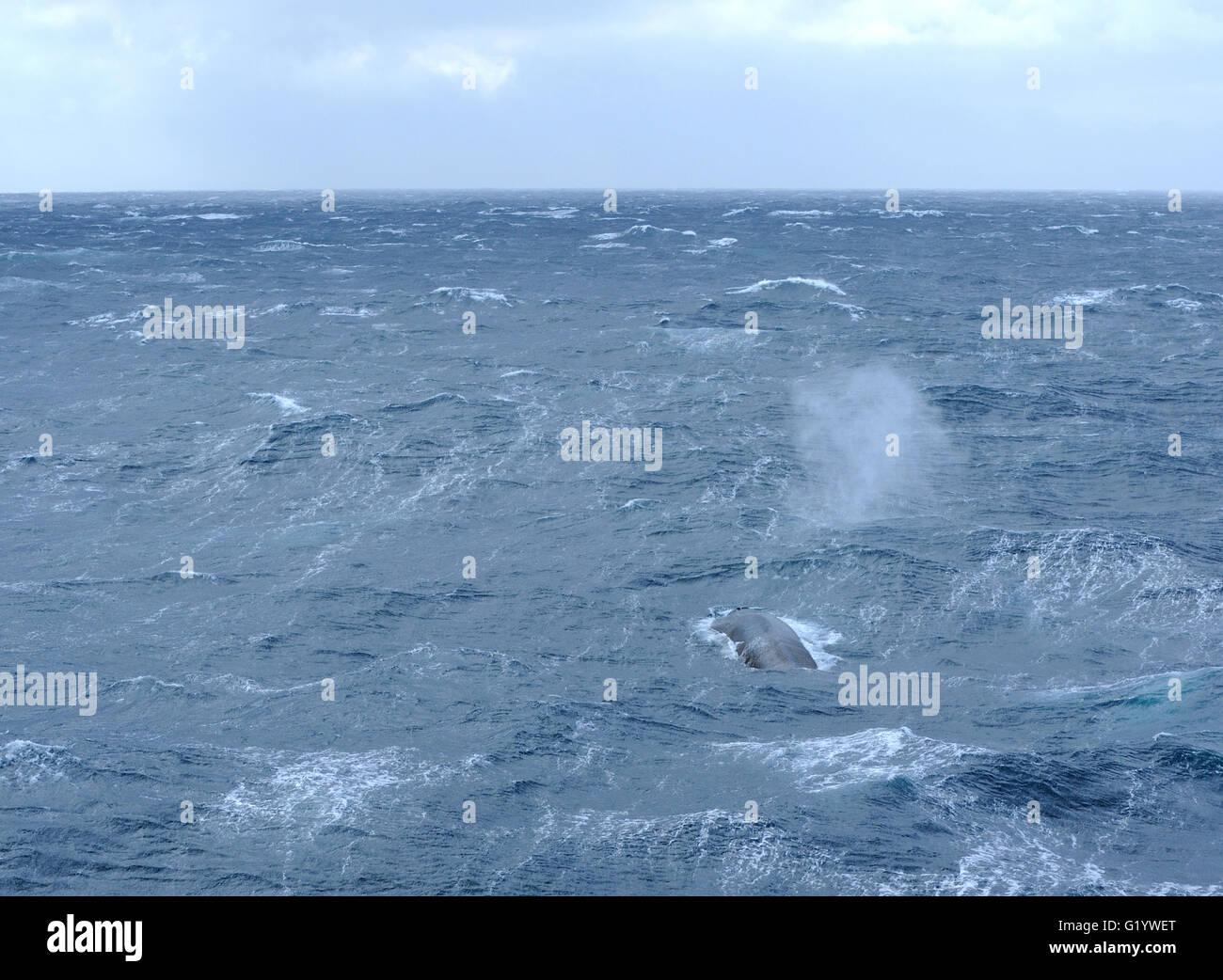 Una ballena azul (Balaenoptera musculus) golpes como superficies. La Isla Saunders, Islas Sandwich del Sur. El Océano Foto de stock