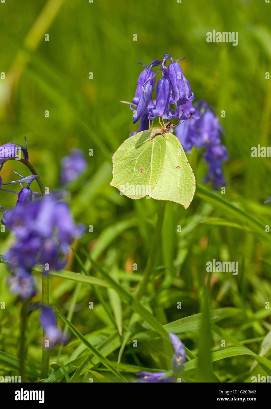 Brimstone Butterfly Gonepteryx rhamni en Blue Bell cabeza floral en la campiña inglesa Inglaterra después de pasar el invierno en hibernación Foto de stock