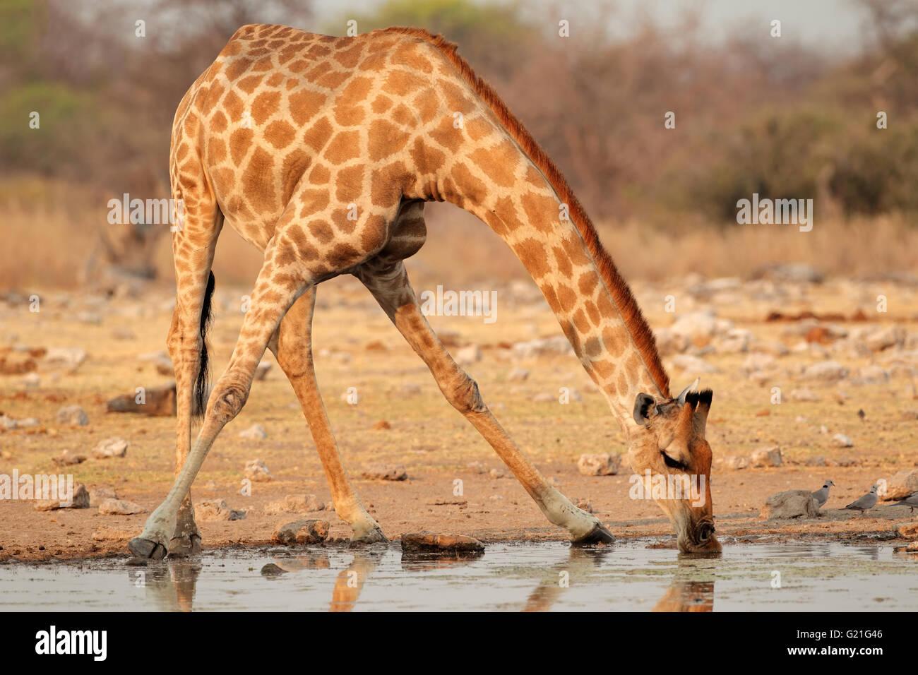 Jirafa (Giraffa camelopardalis) el agua potable, el Parque Nacional de Etosha, Namibia Imagen De Stock