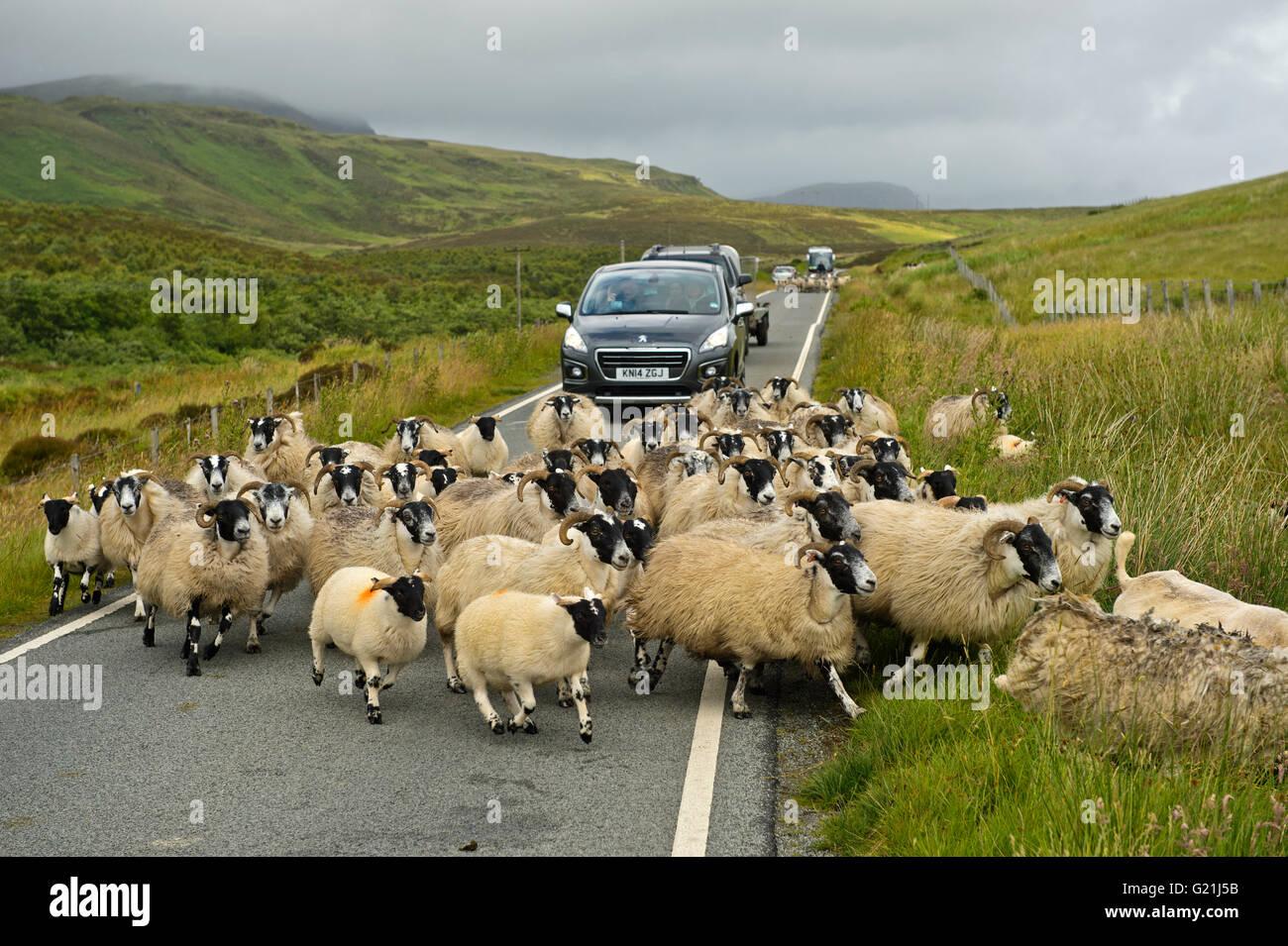 Manada de Scottish Blackface ovejas bloqueando el tráfico en un estrecho camino campestre, Isla de Skye, Escocia, Imagen De Stock
