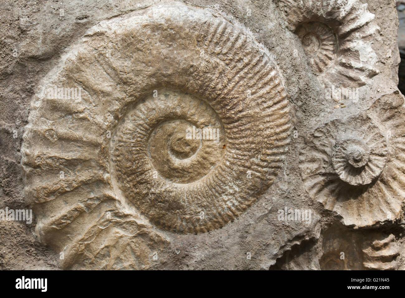 Scaphites de la familia de los hijos de Ammón heteromorph generalizados durante el período Cretácico encontrado Foto de stock