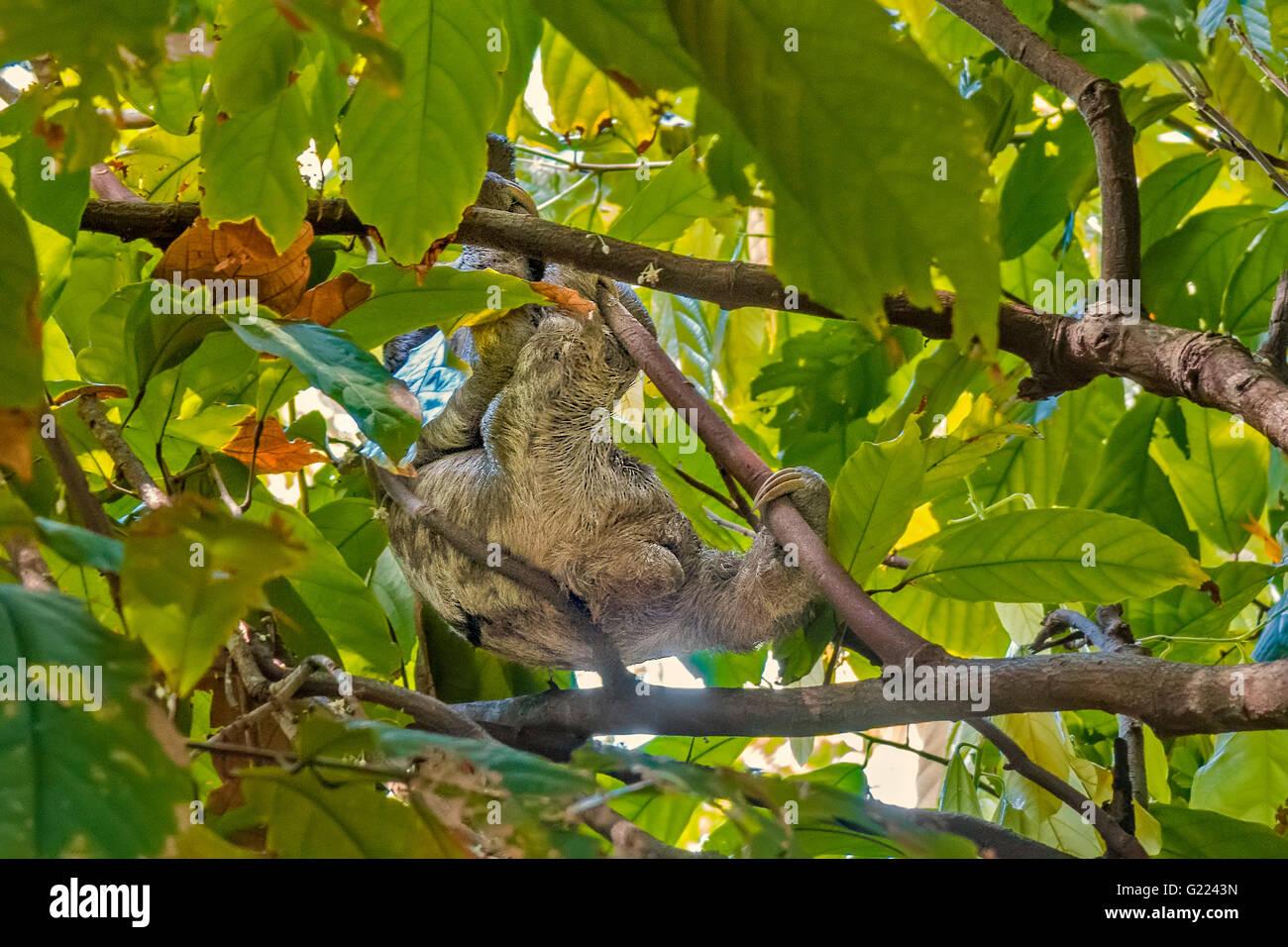 Pereza (choloepus didactylus) moviéndose a través de las copas de los árboles Belem, Brasil Foto de stock
