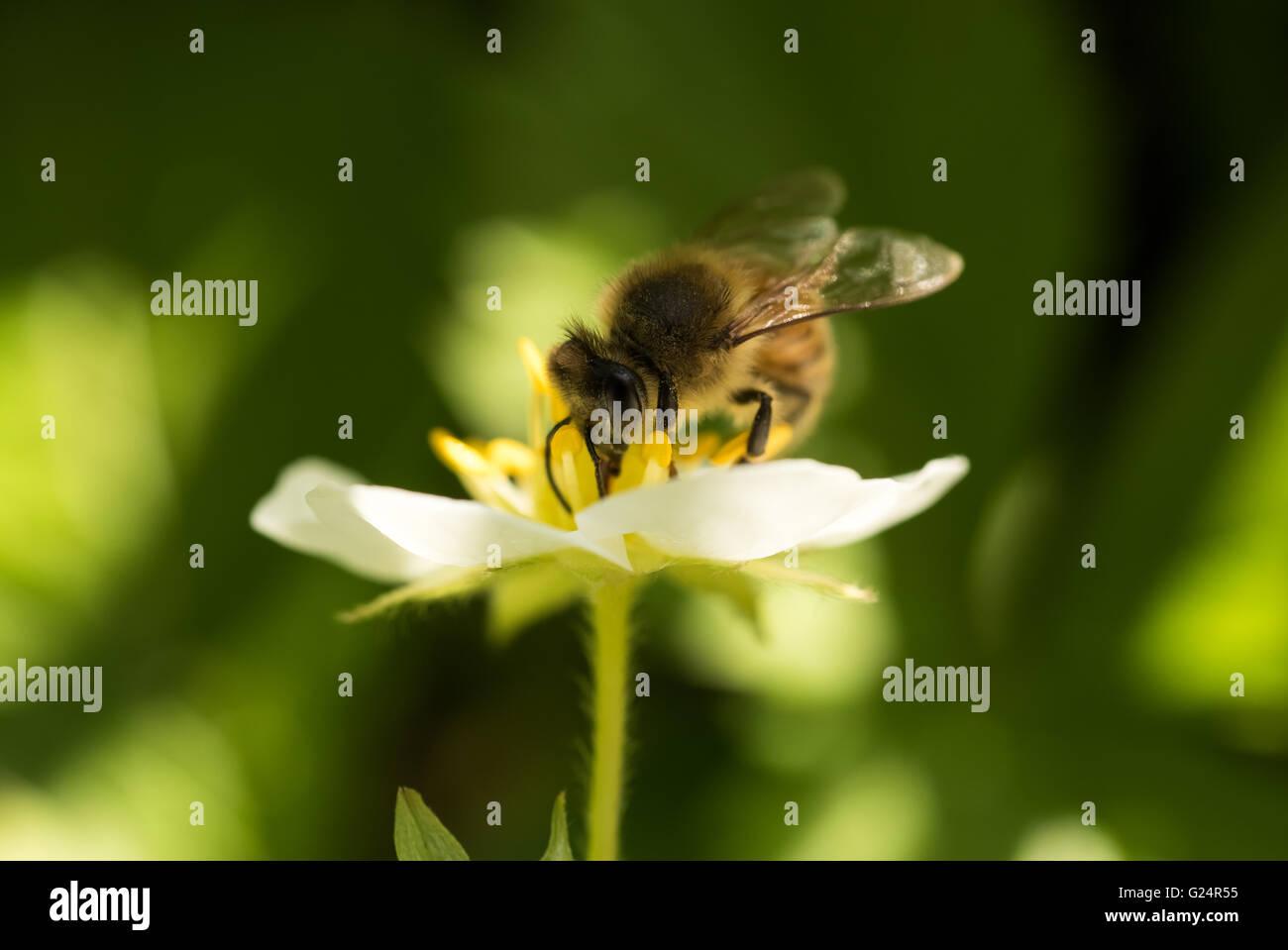 En el trabajo de la abeja en una flor de fresa Foto de stock