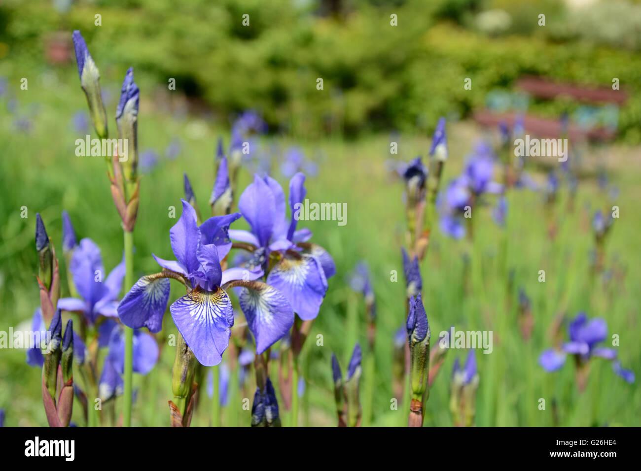 Iris flores azules en el jardín cerrar Foto de stock