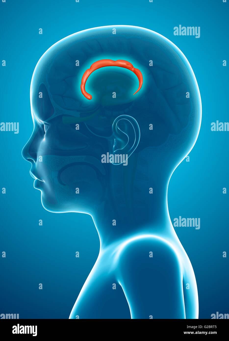 Cerebro Humano corteza cingulada girus (flecha), la ilustración. Imagen De Stock