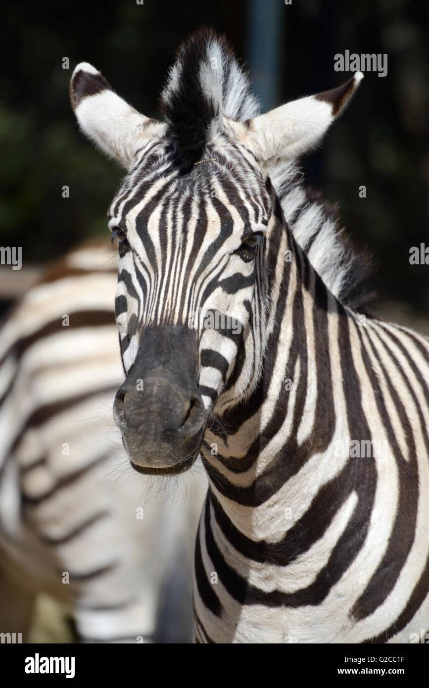 Retrato de cebra de Burchell (Equus quagga burchellii) Imagen De Stock