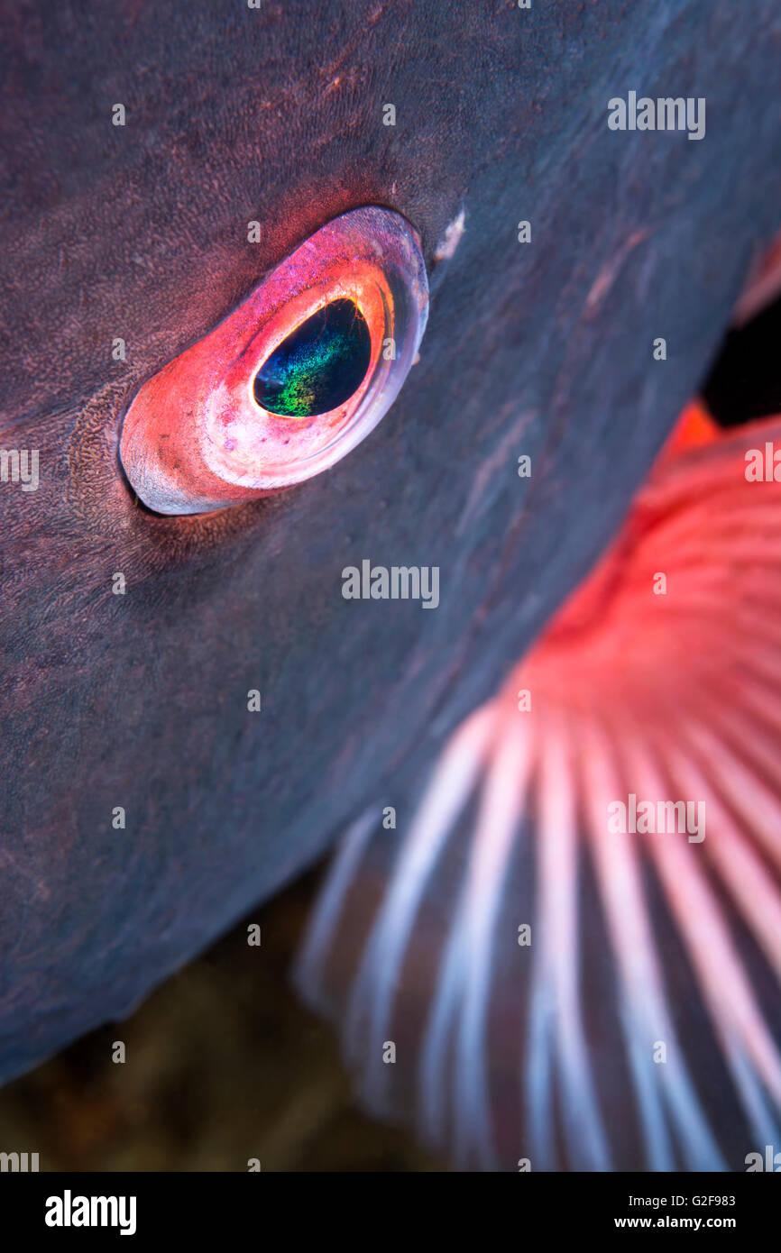 Un primer plano del ojo de un pez sheepshead muestra el detalle y la belleza de los animales acuáticos salvajes Imagen De Stock