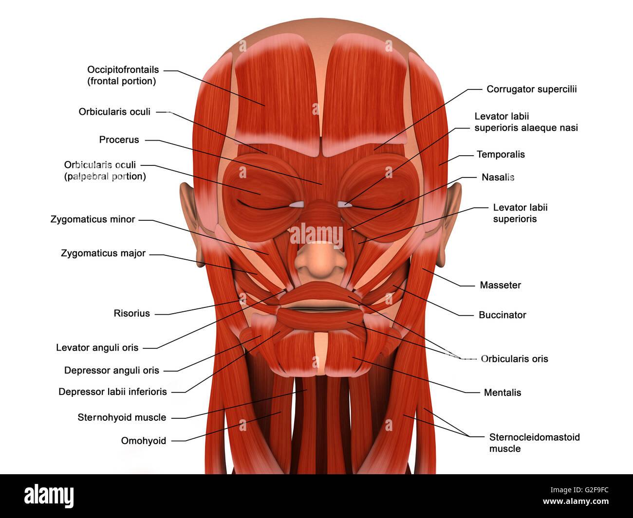 Los músculos faciales de la cabeza humana (con etiquetas). Imagen De Stock