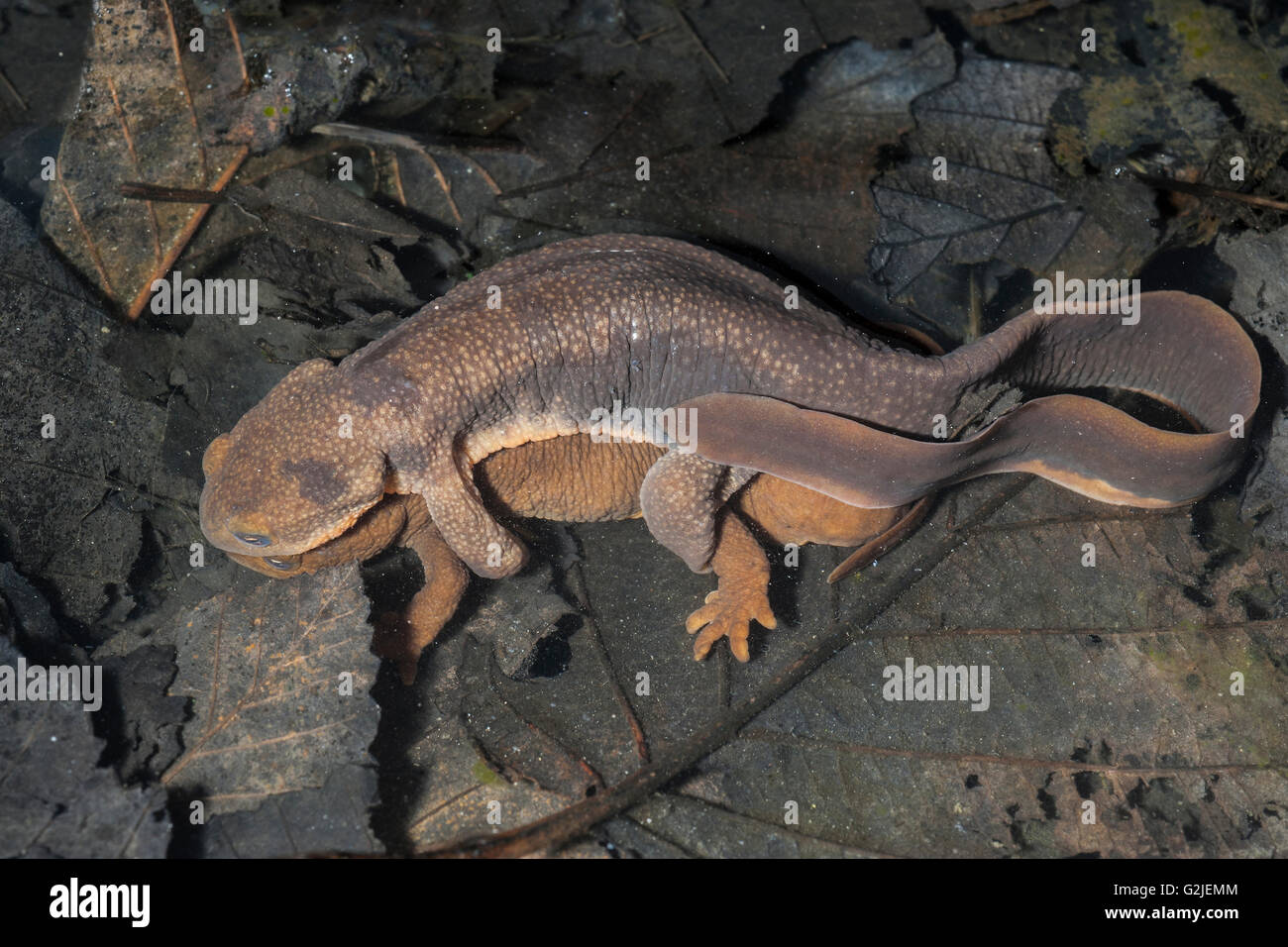 Acoplamiento de piel rugosa salamandras (Taricha granulosa), bosques templados, Costa central Bella Coola, British Imagen De Stock