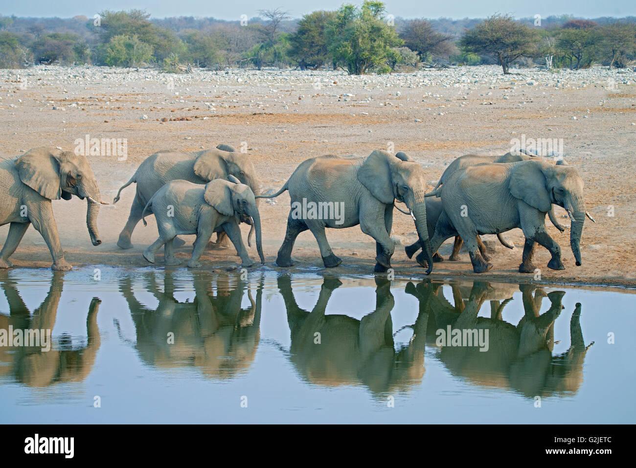 Elefante africano (Loxodonta africana), familia que viene a un abrevadero para beber, el Parque Nacional de Etosha, Imagen De Stock