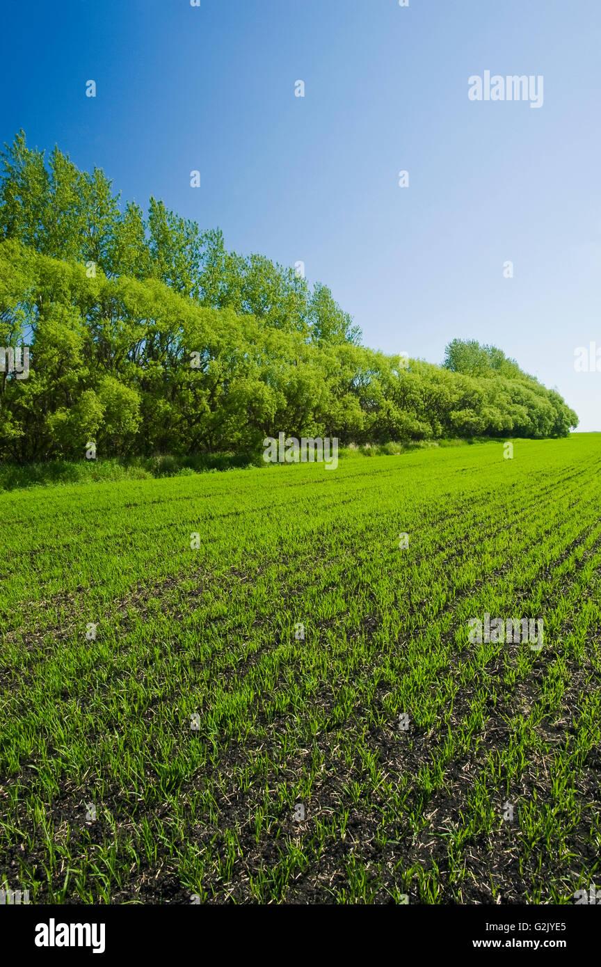Un campo de cebada el crecimiento temprano, Manitoba, Canadá Imagen De Stock