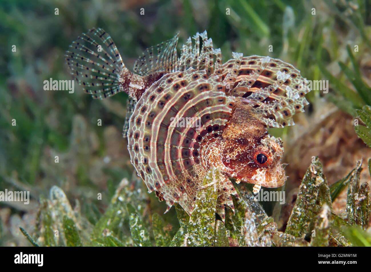 Pez león enano difusa (Dendrochirus bracxypterus) en algas, aletas pectorales propagación, la Gran Barrera Imagen De Stock