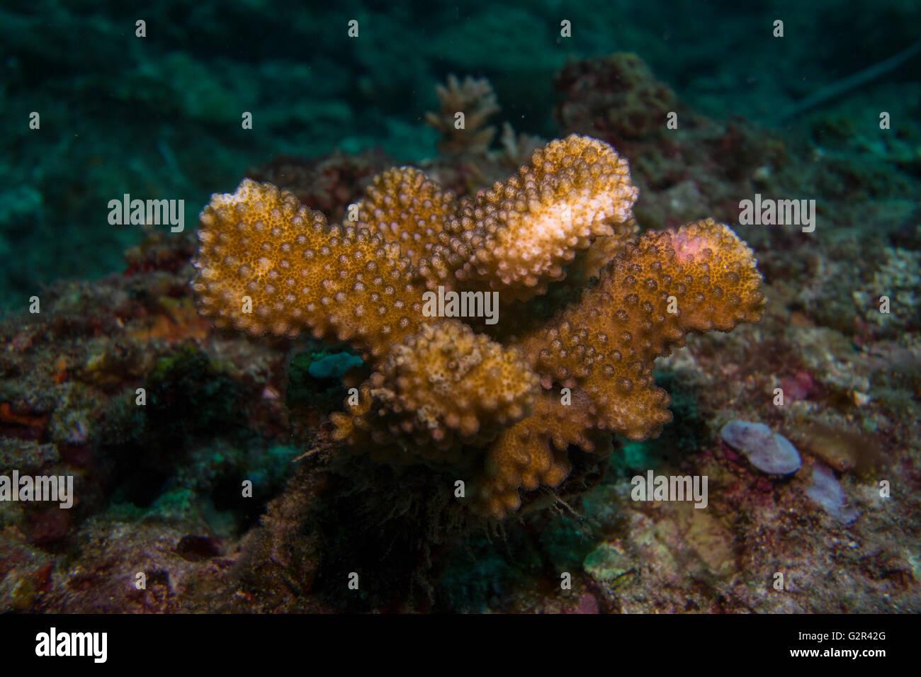 Formulario de corales pétreos el triángulo de coral, Brunei Darussalam. Foto de stock