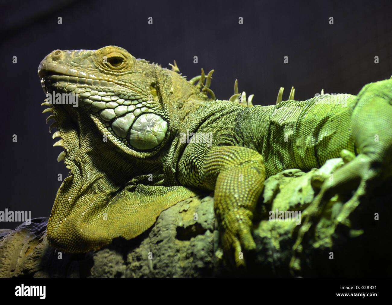 Gran verde escamosa Iguana con sus adornos y pliegues de piel, envuelto en la rama de un árbol Imagen De Stock