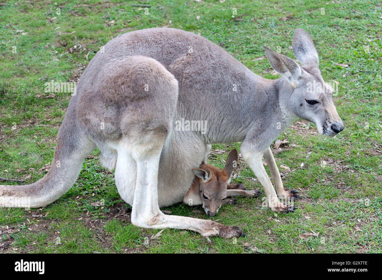 Hembra gris occidental canguro con Joey a la reserva de koalas Lone Pine, Fig Tree Pocket, Brisbane, Queensland, Imagen De Stock