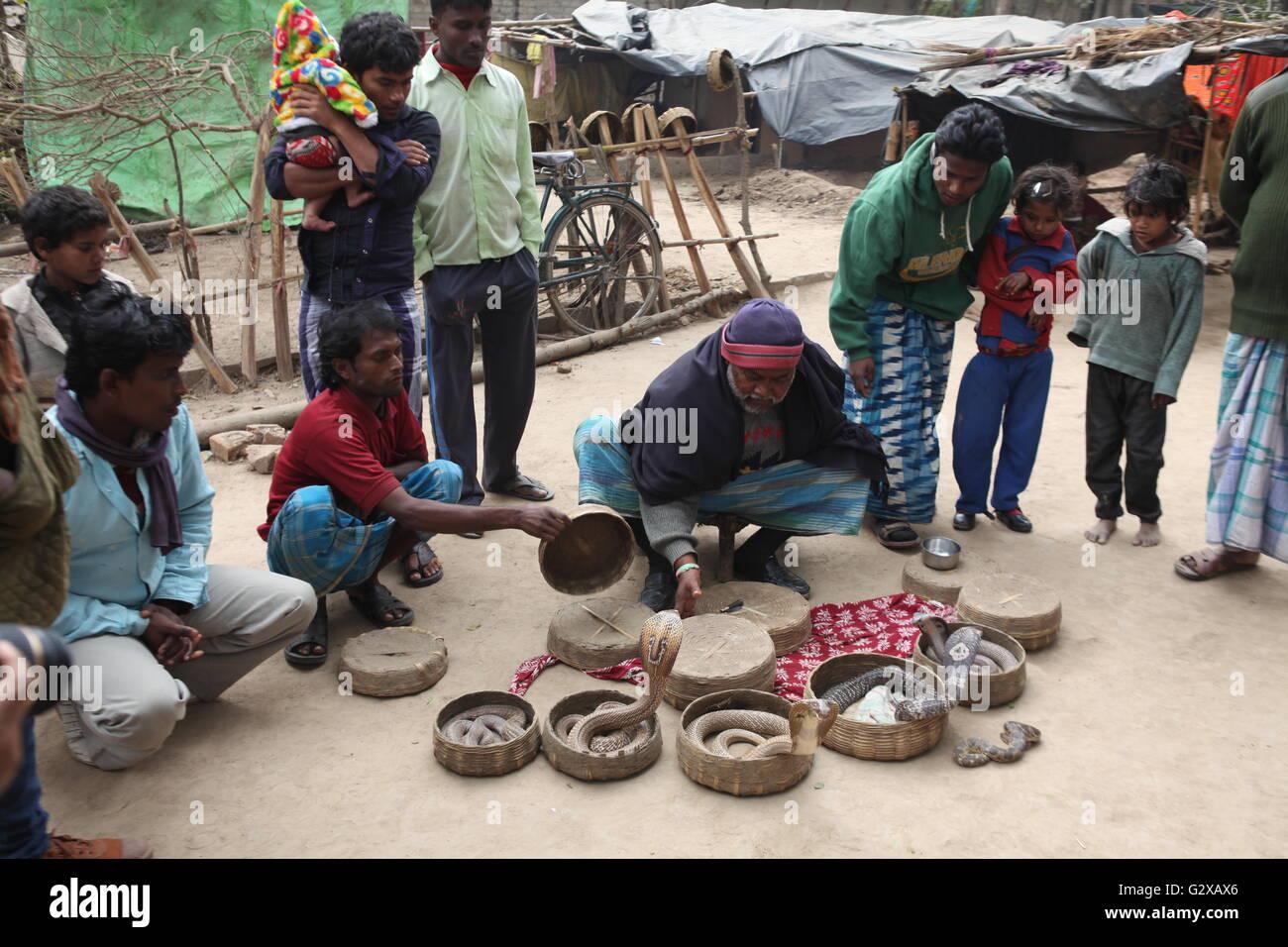Las serpientes mortíferas saliendo de las canastas durante la exhibición de los encantadores de serpientes en Bengala Foto de stock