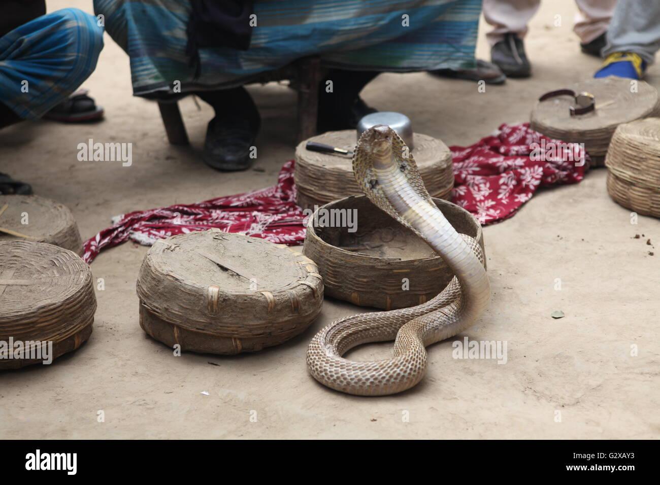 Una cobra con su cubierta, justo fuera de la canasta del domador de serpientes Foto de stock
