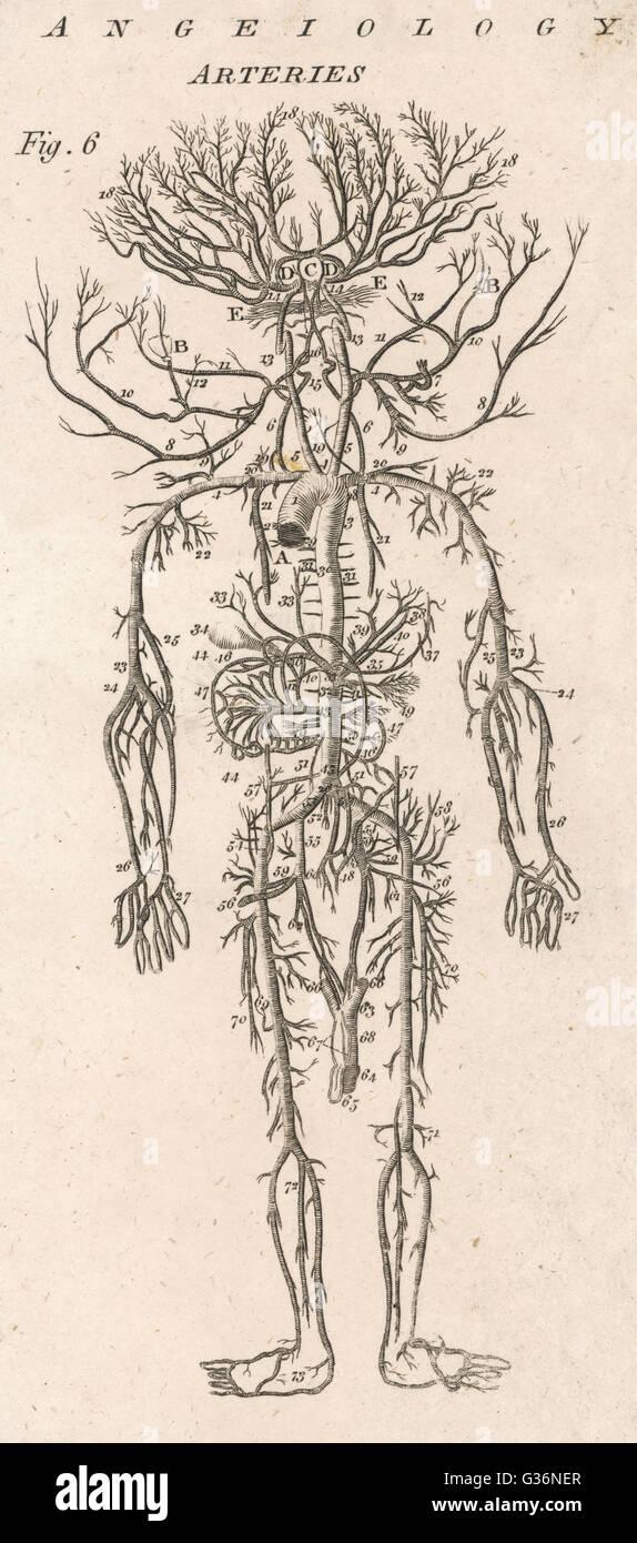 Un diagrama que muestra las arterias del cuerpo humano. Fecha ...