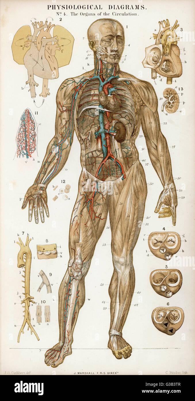 Diagrama fisiológica de los órganos de circulación Fecha: 1870 Foto ...