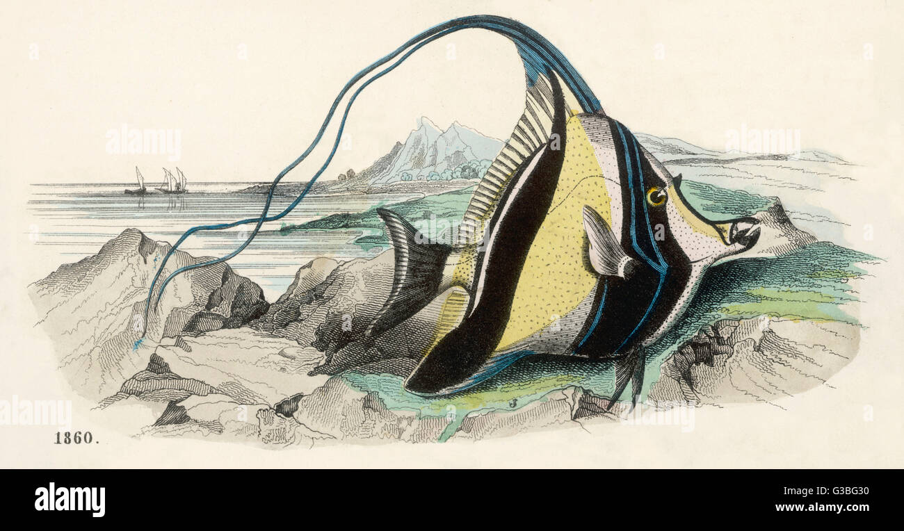Negro, blanco y amarillo banderín de peces que se encuentran en el Mar Rojo, entre otros lugares. Fecha: circa Imagen De Stock