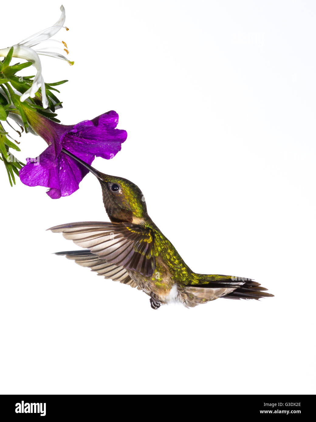 Rubí-throated hummingbird que recolectan néctar. Foto de stock