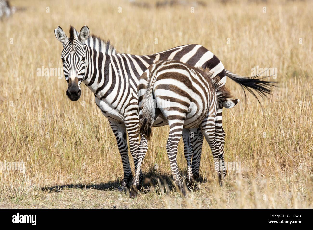 Burchell, zebra Equus quagga burchellii, Madre mirando a la cámara y la enfermería Colt, Reserva Nacional de Masai Foto de stock