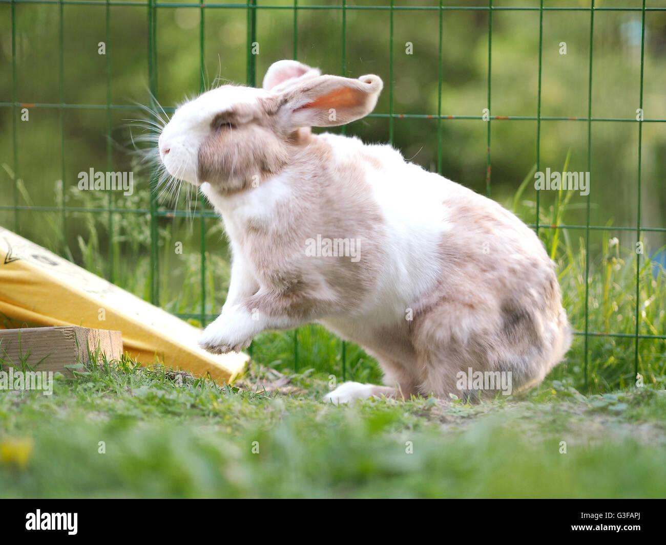 Flemish Giant Rabbit Imágenes De Stock & Flemish Giant Rabbit Fotos ...
