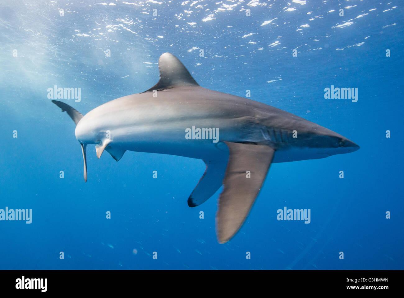 El tiburón sedoso (Carcharhinus falciformis) muestra comportamiento estresado: cuerpo arqueado y aletas pectorales apuntando hacia abajo. Este estado puede ser observado mientras caza, San Benedicto, Colima, México Foto de stock