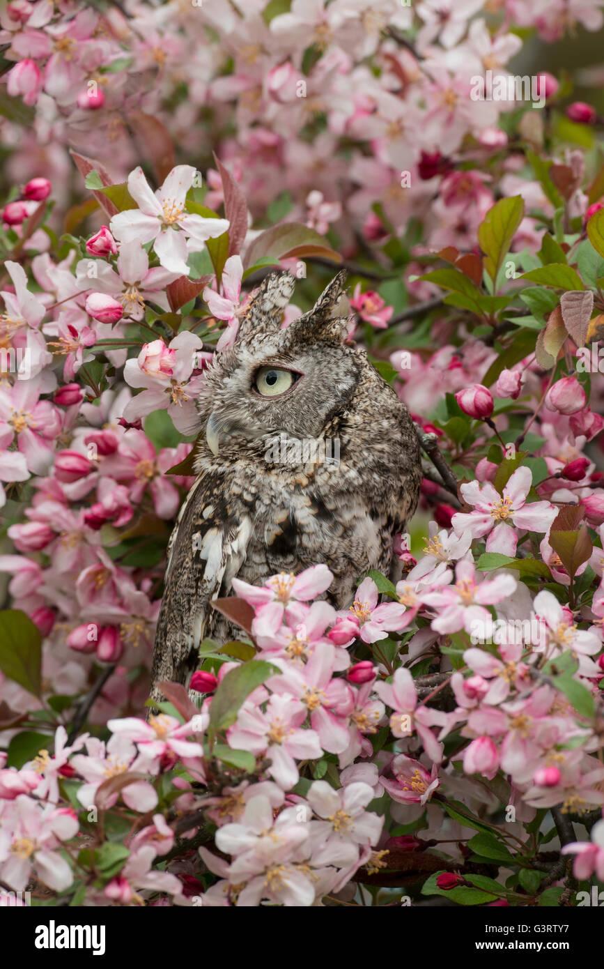 Oriental o mochuelo común Búho asio otus, fase gris, sentado en flor de manzano, Este de los EE.UU. Imagen De Stock
