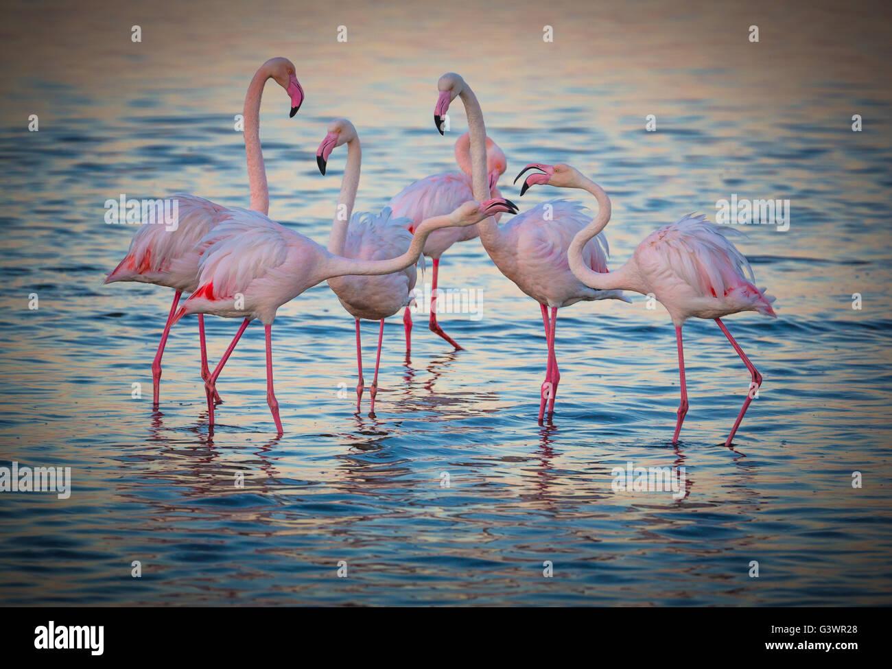 Los flamencos son un tipo de aves zancudas en el género Phoenicopterus, el único género de la familia Imagen De Stock