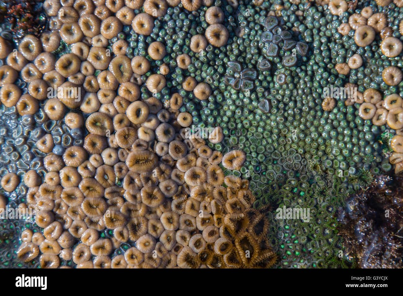 Diversos Zoanthids o coral blando en las rocas en las zonas intermareales en Mozambique Imagen De Stock