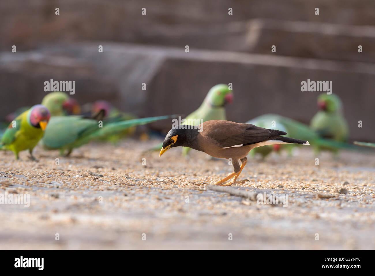 Pájaro Myna Foto de stock