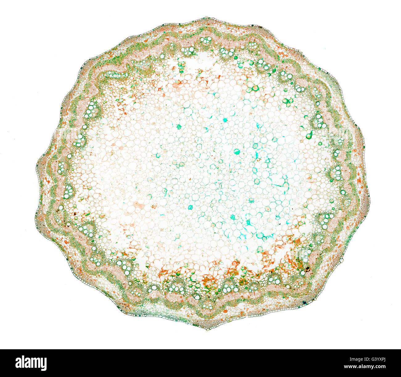 Microfotografía Brightfield, tallo TS. Rumex obtusifolius, amargo, de amplia base dejados dock, dock, dock Imagen De Stock