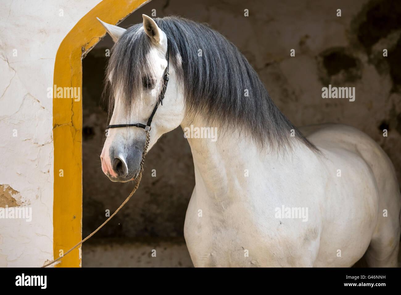 Hermoso semental pre retrato Imagen De Stock