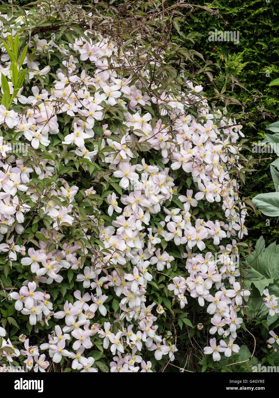 Clematis 'Perfección' rosa Floración sobre arbustos Imagen De Stock
