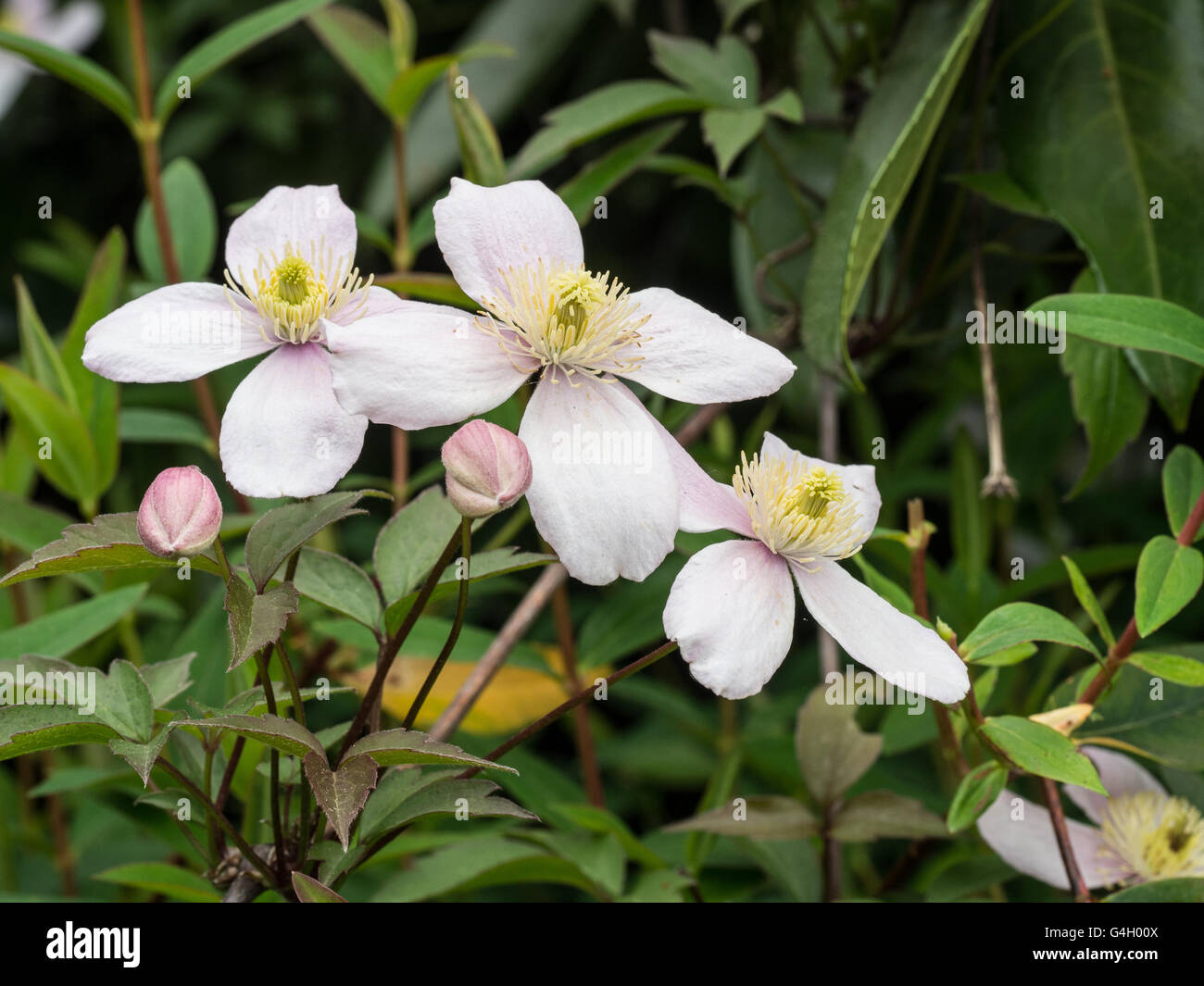Clematis 'Perfección' rosa flores Imagen De Stock