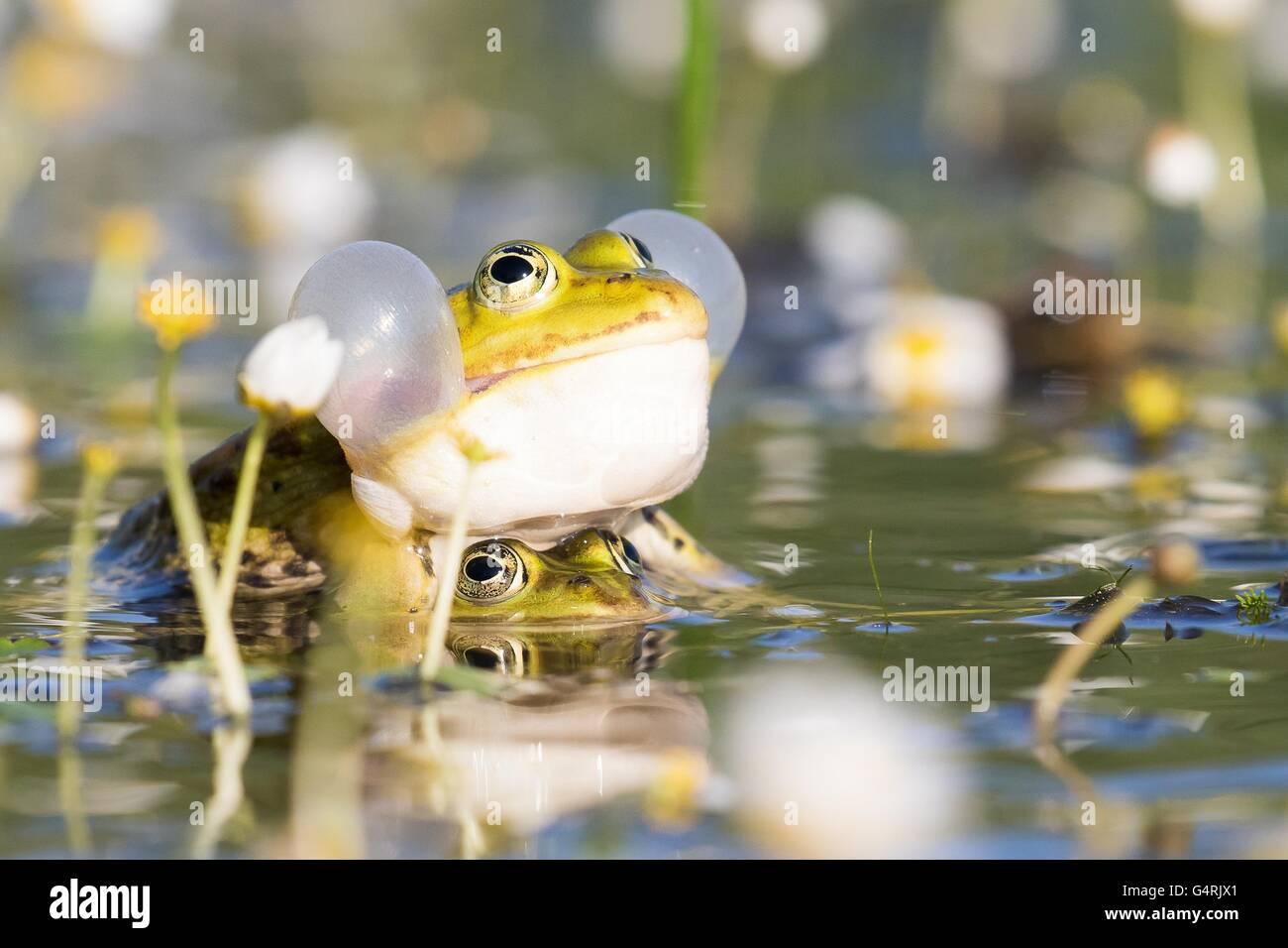 Ranas comestibles (Pelophylax esculentus) en agua, el apareamiento, vocal sac, agua blanca (Ranunculus aquatilis Imagen De Stock