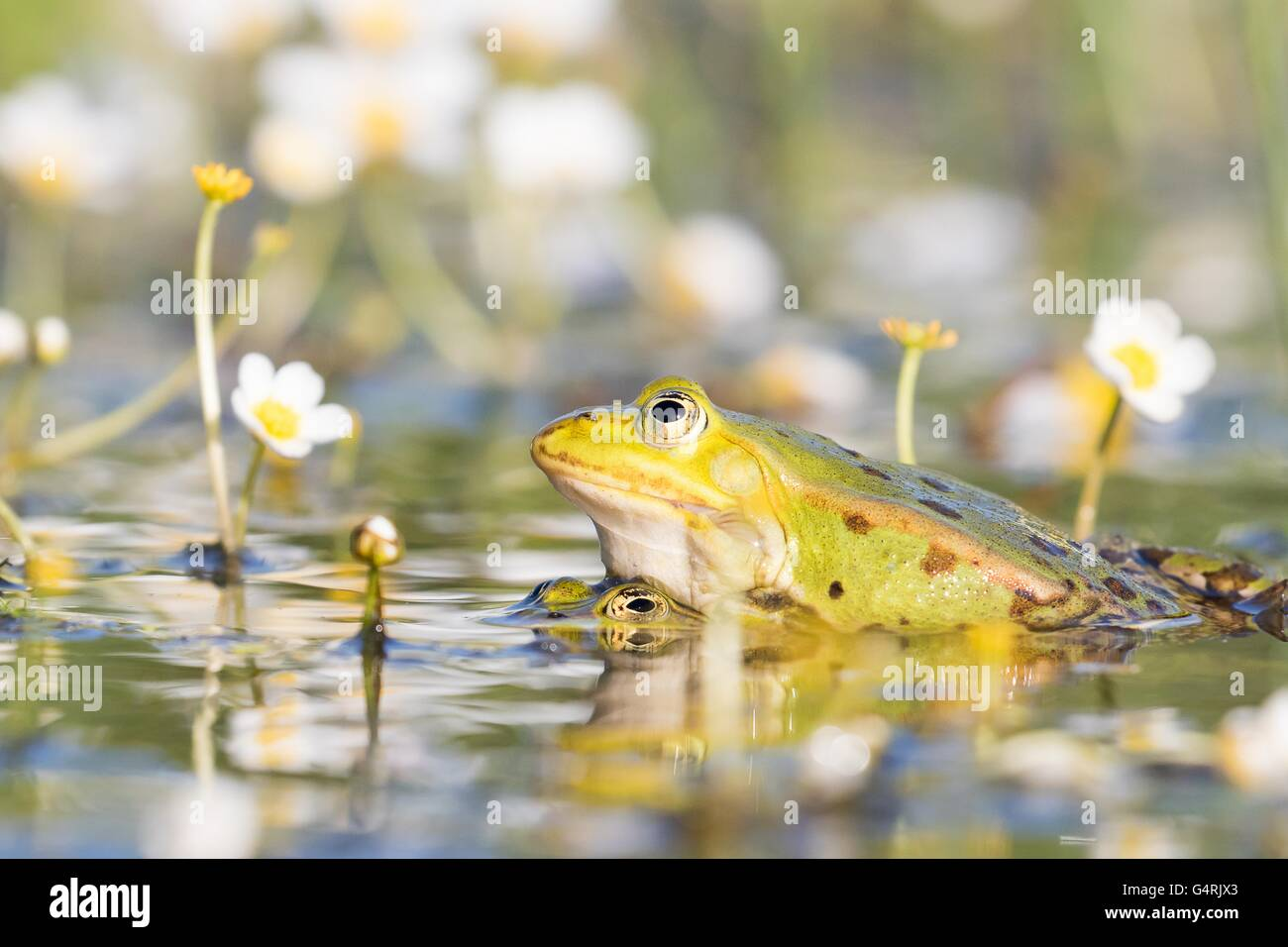 Ranas comestibles (Pelophylax esculentus) en agua, el apareamiento, agua blanca (Ranunculus aquatilis crowfoot), Imagen De Stock