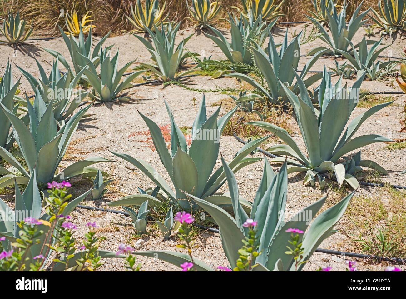 Grupo de grandes plantas de cactus en un rido desierto seco jardn