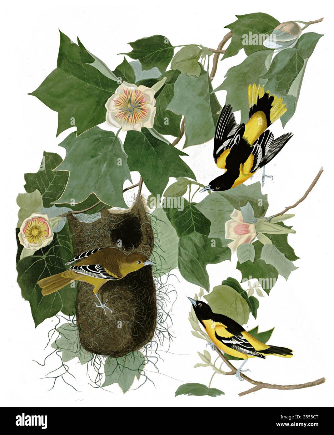 Galbula oriol del norte, ictericia, Baltimore oriole, aves, 1827 - 1838 Foto de stock