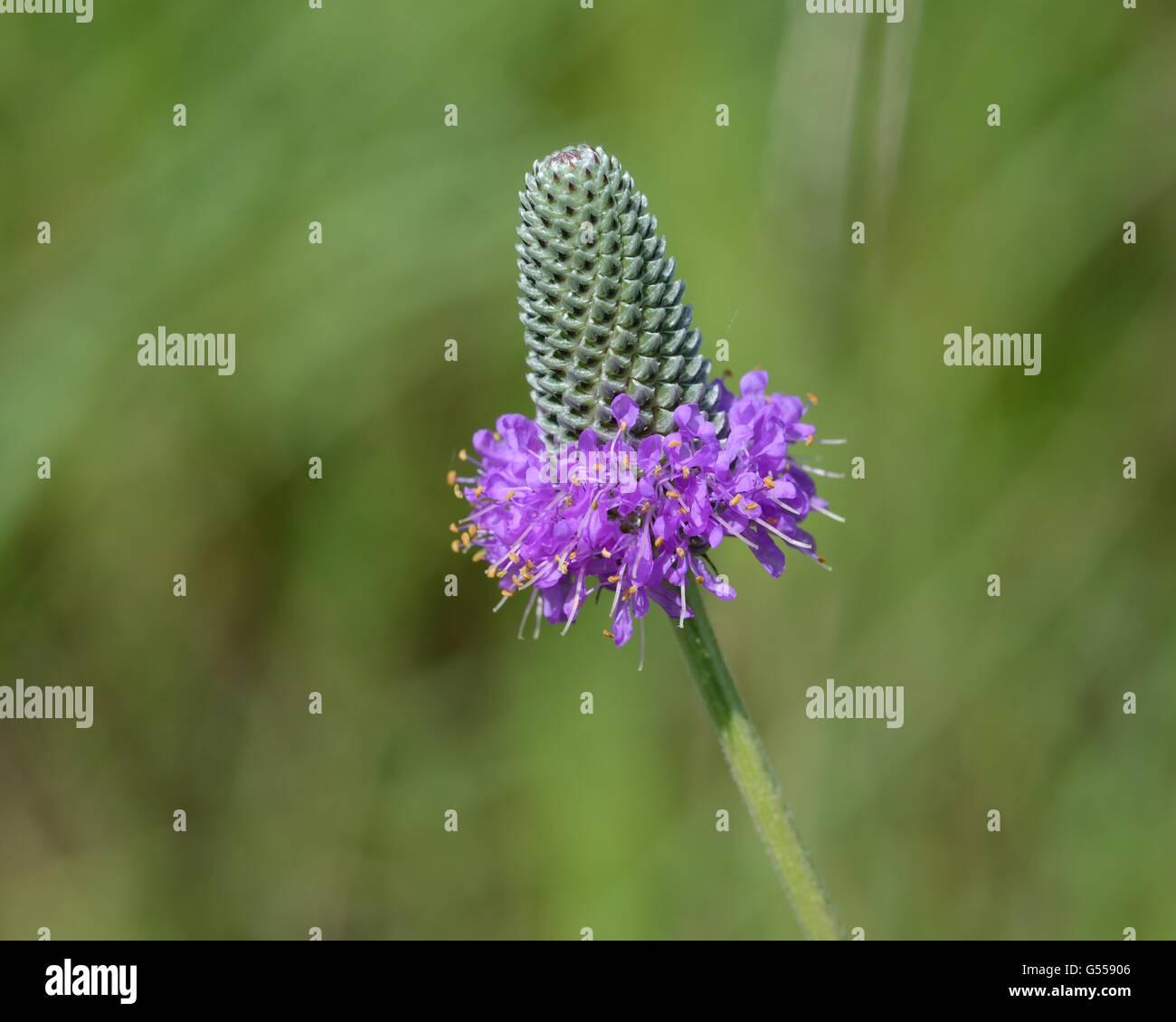 Las praderas de trébol violeta Foto de stock